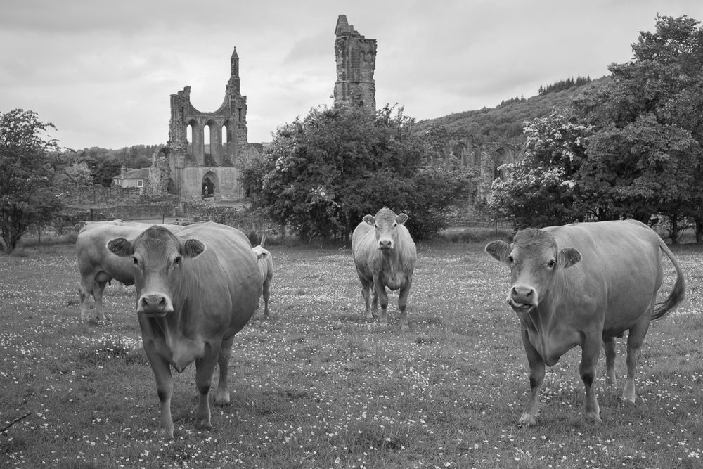 Cows at Byland Abbey