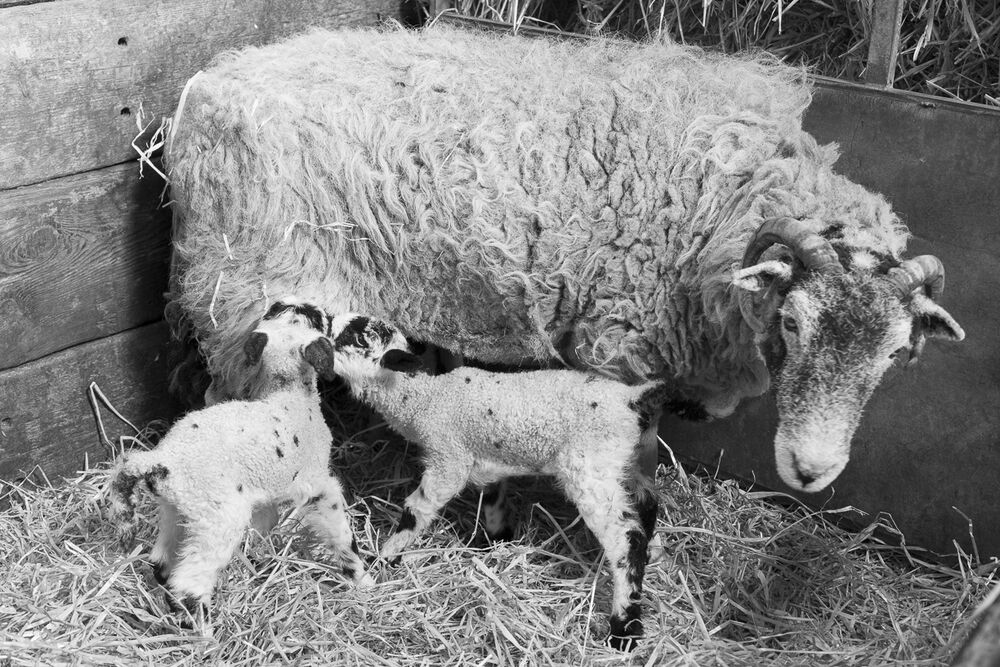 Elderly Swaledale with lambs