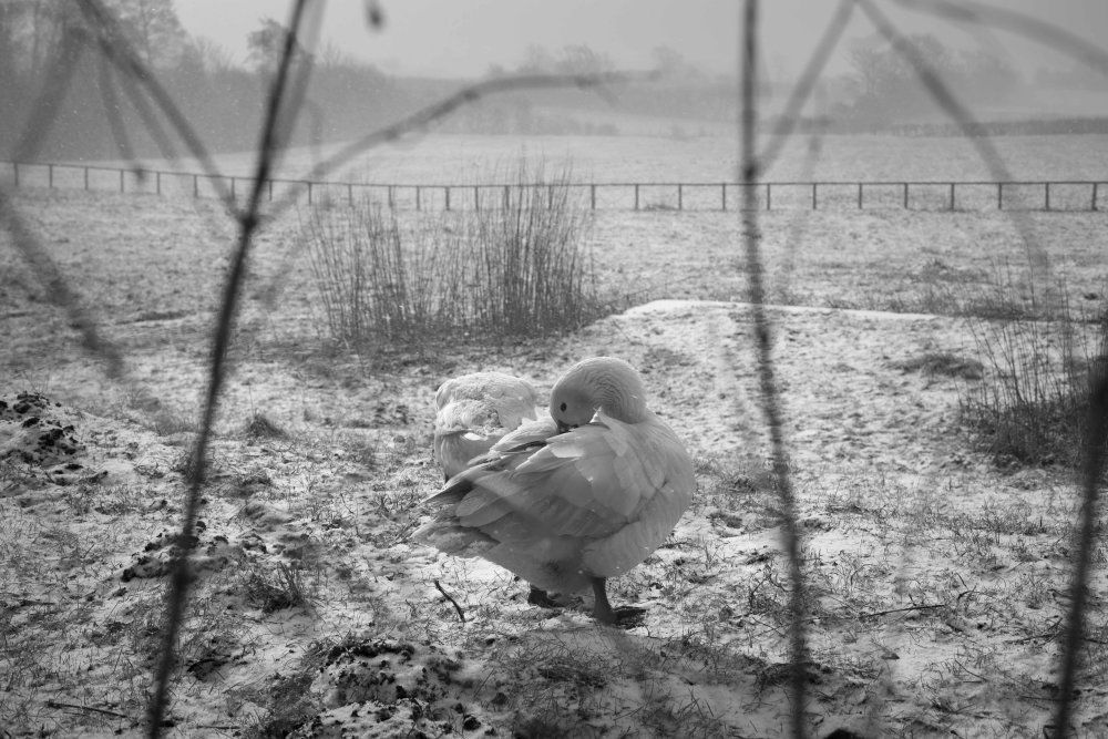 Geese in the snow, Ampleforth, March 2013