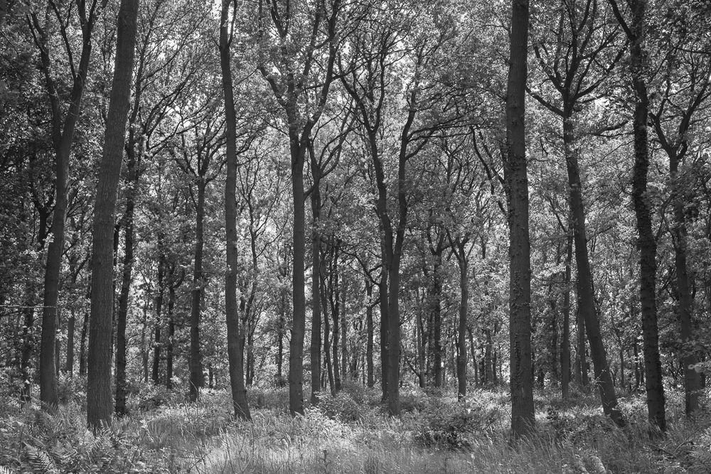 Golden square oak woods