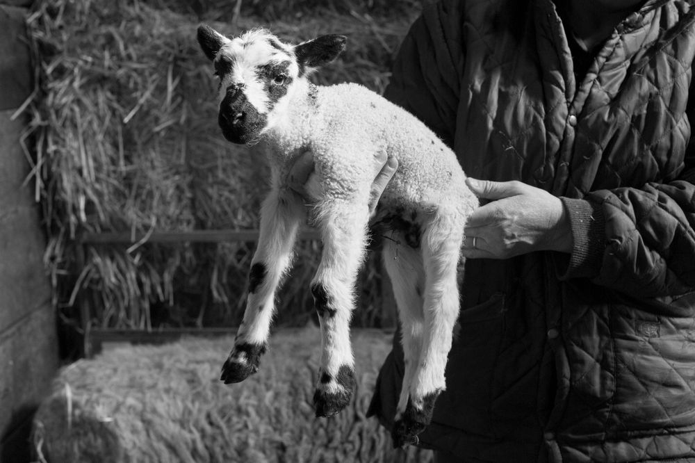 Mule lamb, Bransdale, March 2014