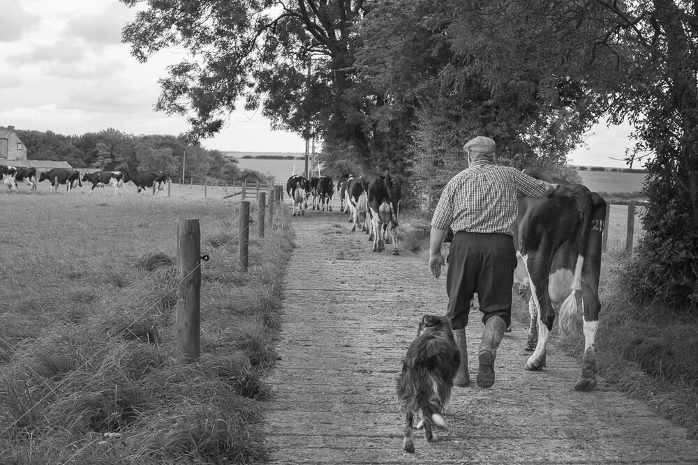 Paul Dunn bringing his cows in for milking