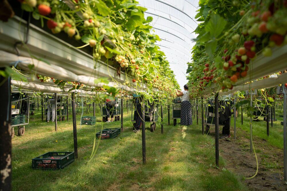 Strawberry picking, Strawberry Fields