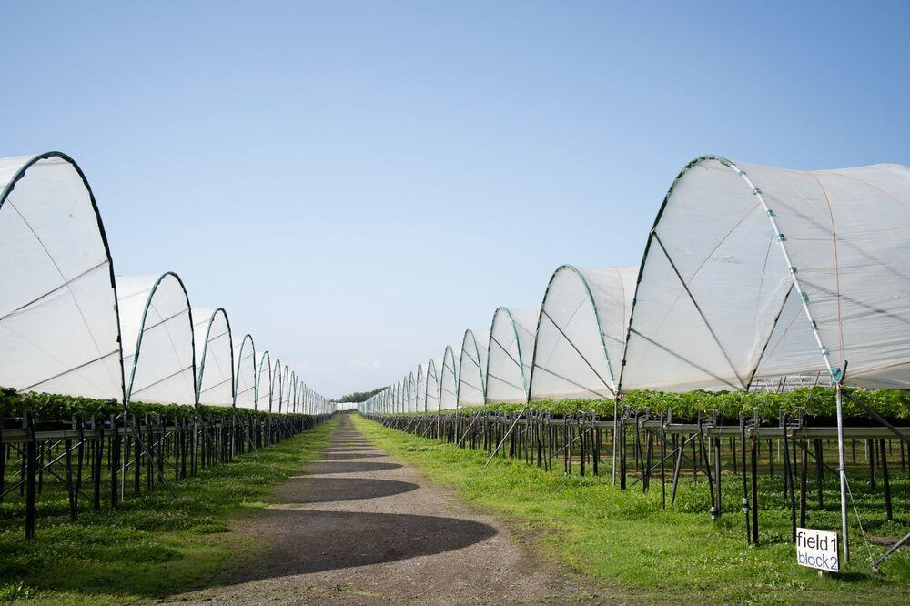 Field 1, Block 2, Strawberry Fields