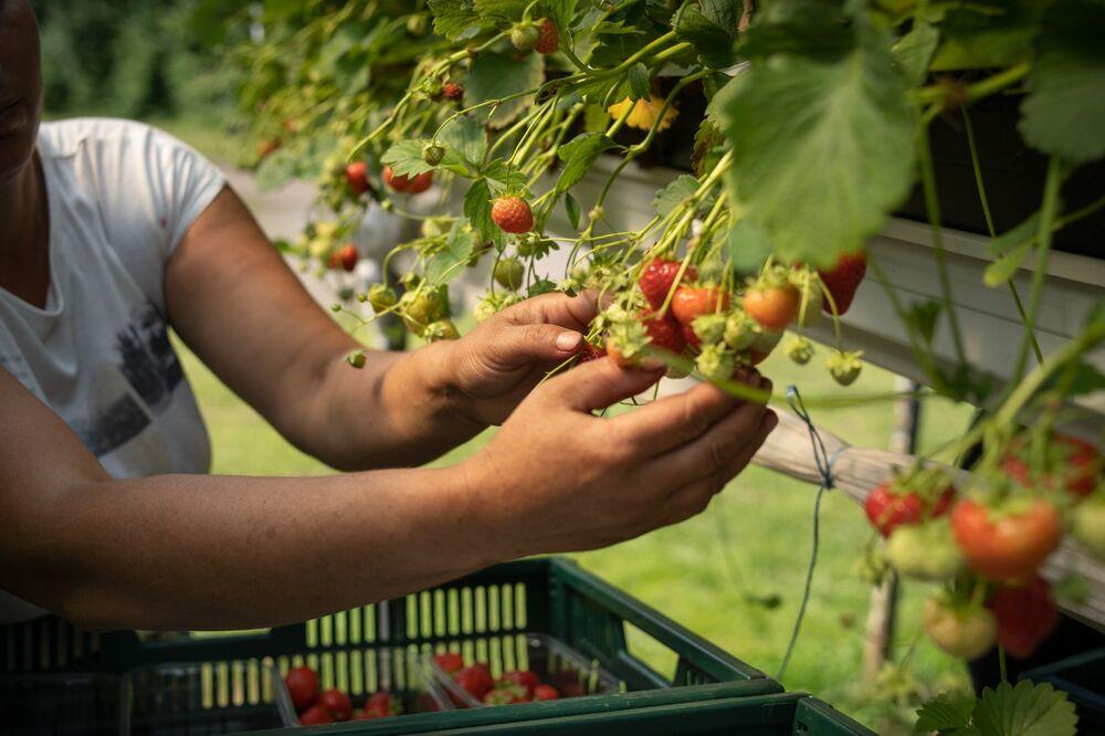Radu picking strawberries