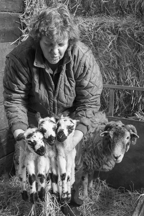 Sarah with Swaledale triplets