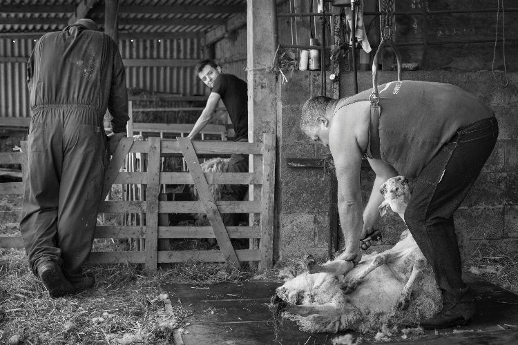 Shearing in Ampleforth, 2015