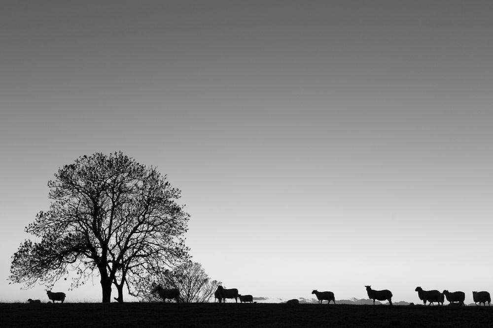 Sheep on Knoll Hill (II)