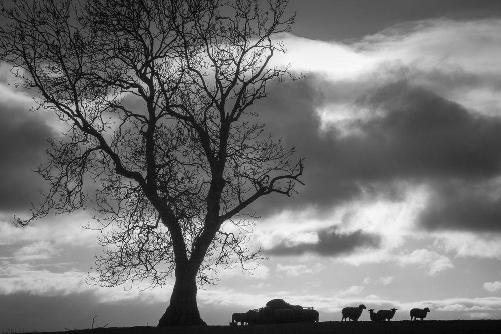 Sheep on Knoll Hill (I)