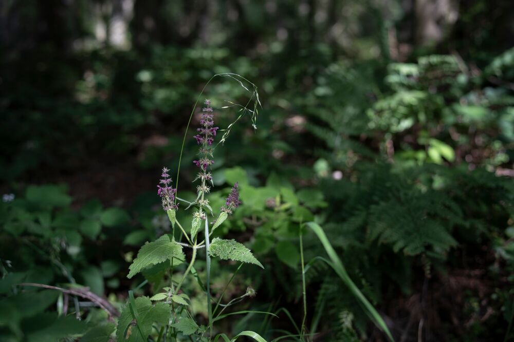 Grass and woundwort