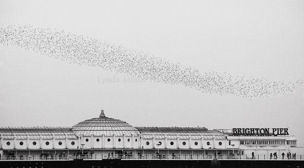 Starlings Roosting Brighton