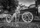 Appleby - dog and cart