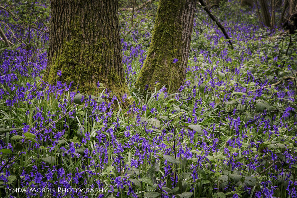 Bluebell Wood,
