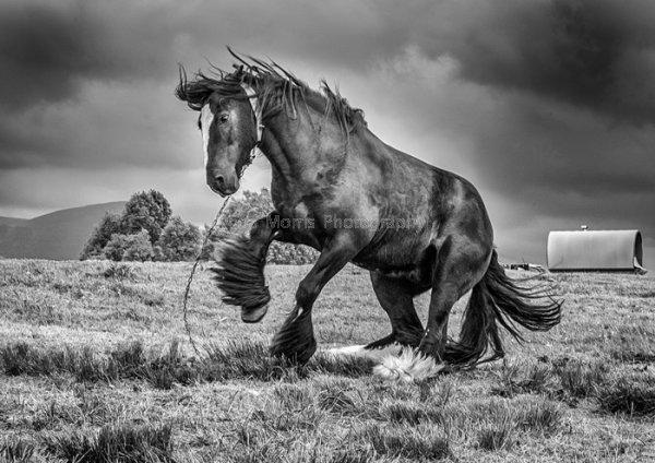 Appleby - Dancing Horse