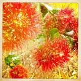 Pohutukawa Bloom