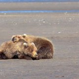Sleepy Bear cubs  - Lake Clark National Park