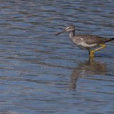 Greater Yellow Leg - common  shorebird