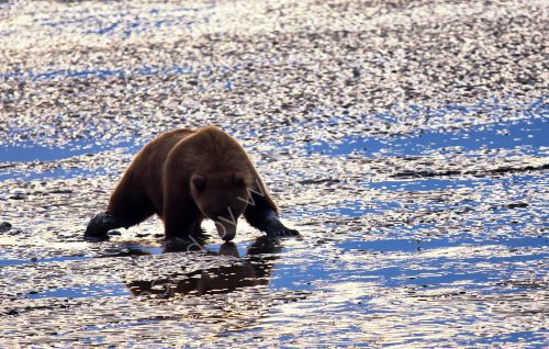 Mother bear searching for food at low tide