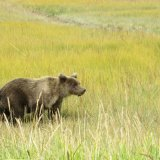 Bear wandering across the grassland.