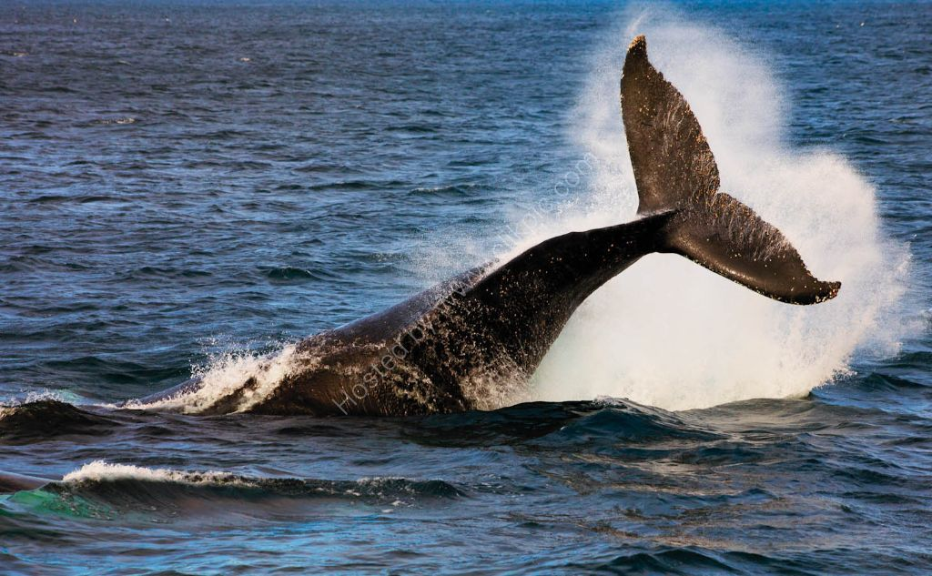 Humpback Whales migrate past Sydney every winter.