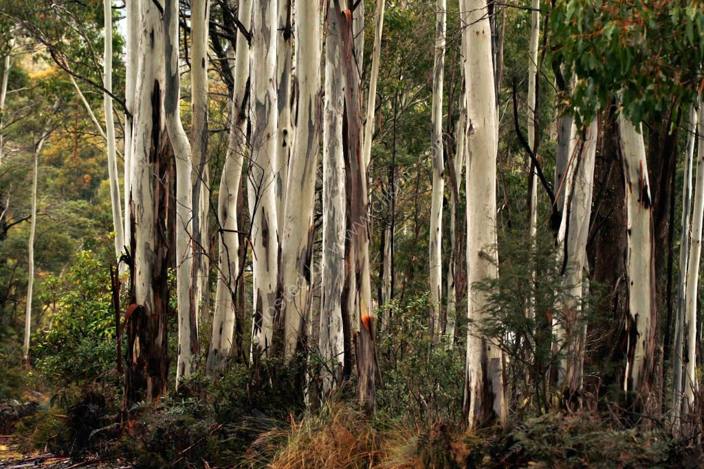 Tasmanian  Native Gum   Trees