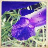 Macro of Iris