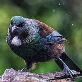 grumpy Tui in the rain