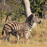 Zebra feeding her baby.