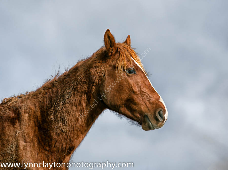 Kaimanawa Horse