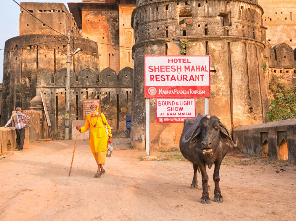 Sacred Brahmin Cattle are everywhere