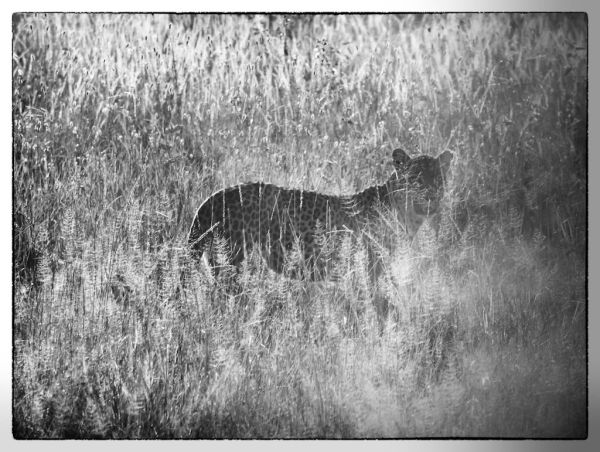 Leopard hiding in long grass - Serengeti