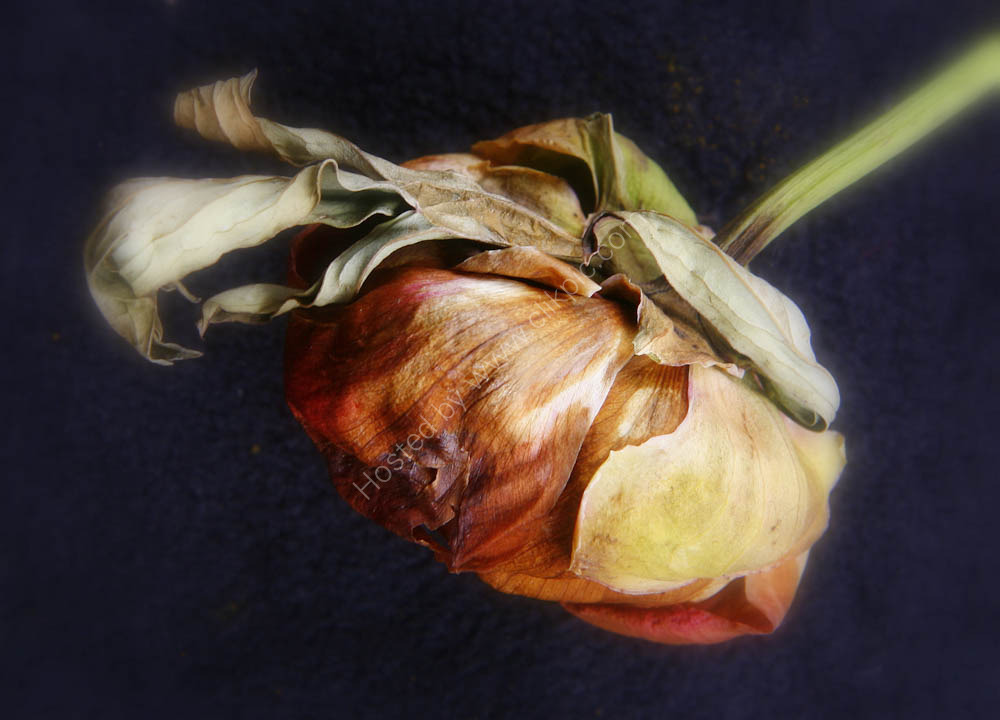 Wilted Peony