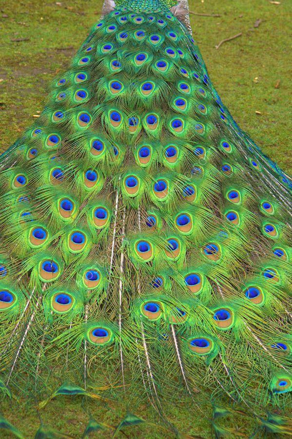 Peacock in Tasmania