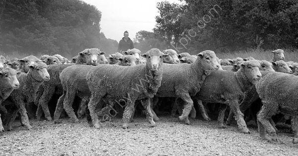Merino Fine wool sheep