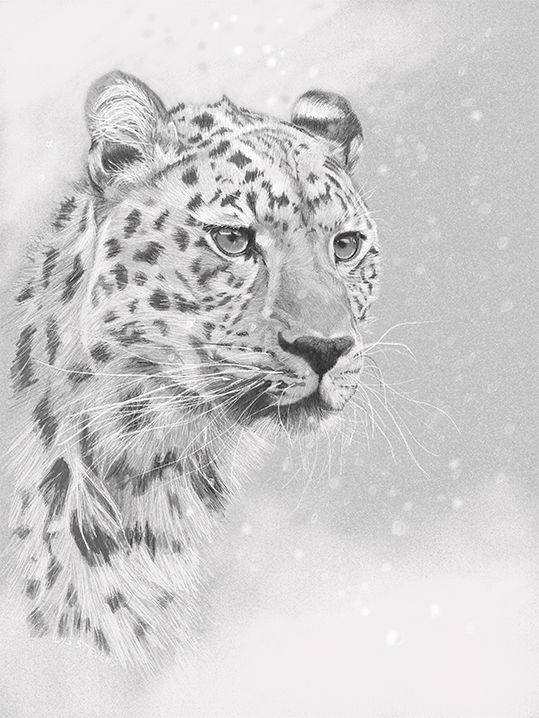 watching, Snow Leopard PRINT 25.5x19cms
