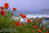 Poppies at Sea