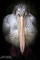 5  Pelican Thum
