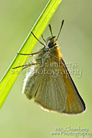 Small Skipper