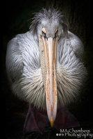Pelican No02