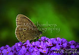 Ringlet Butterfly Underwing