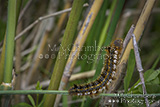 The Drinker Euthrix potatoria Caterpillar