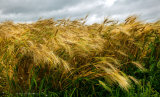 Wheat in a Gathering Storm