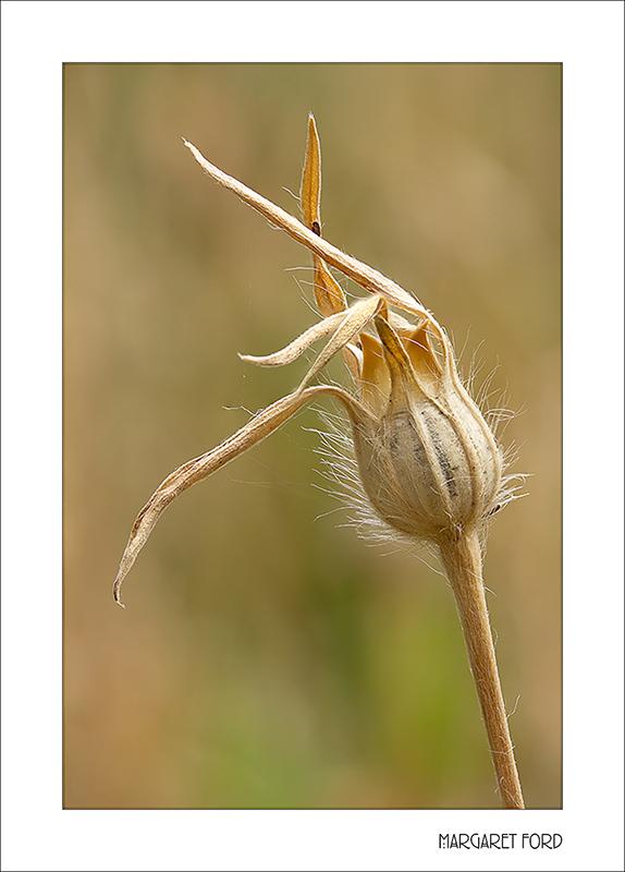 Corncockle Seed-head