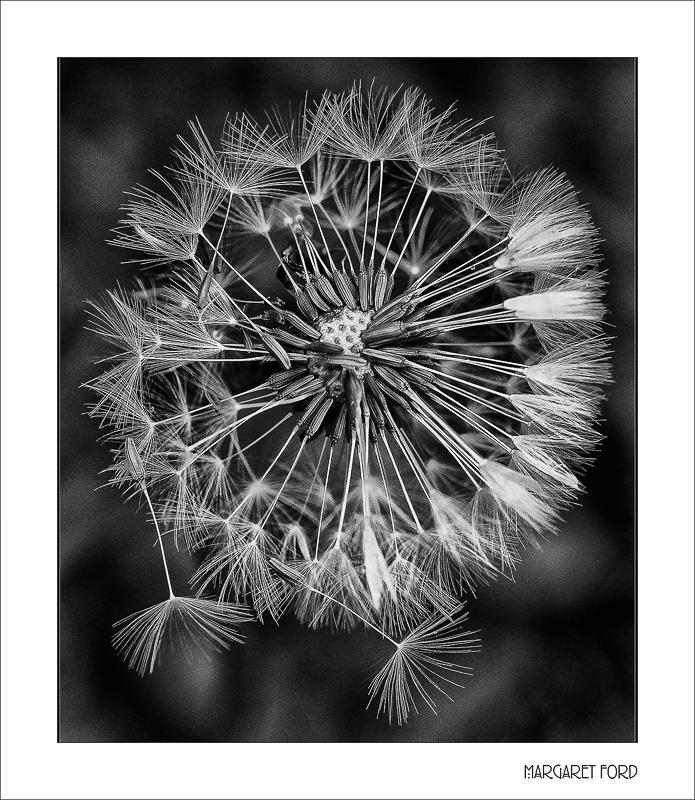 Dandelion Seed-head