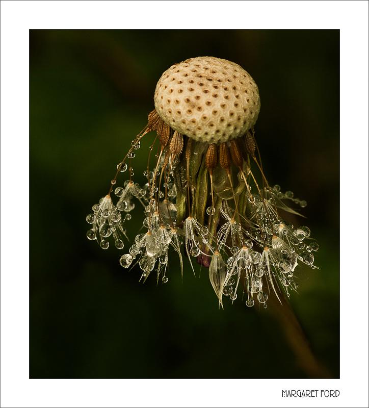 Dandelion Raindrops
