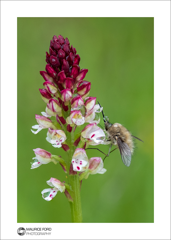 Orchid with Bee-fly