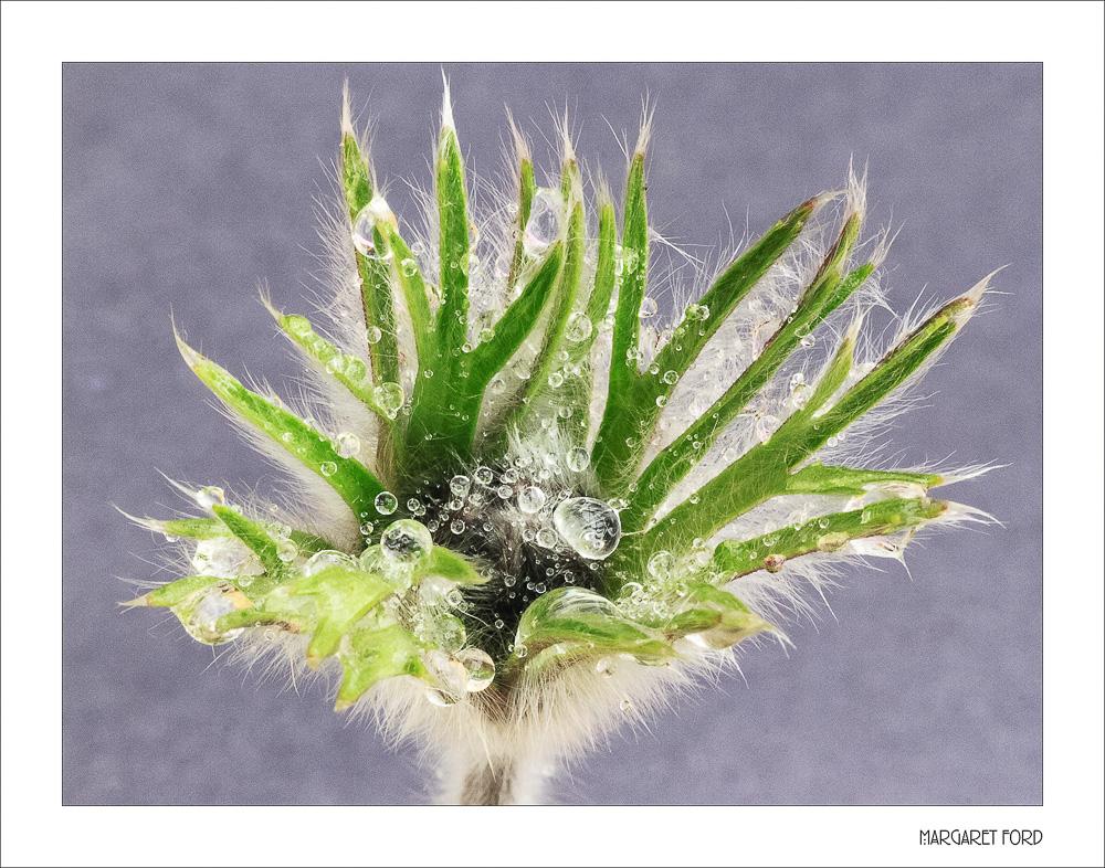 Pasque Flower Seedhead