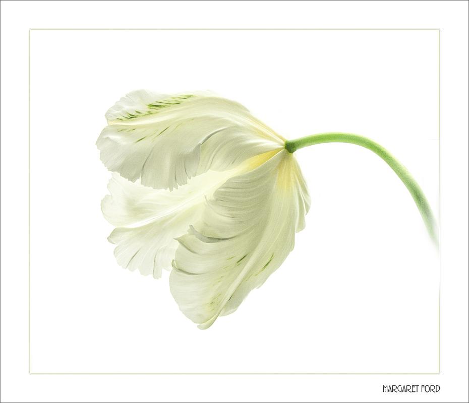 White Tulip 6
