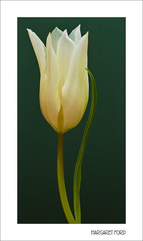 White Tulip 5
