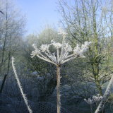 January 2016 hoar frost on the cow parsley